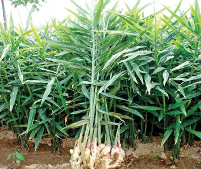 Ginger cultivation